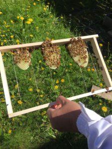 En ram från en bikupa där mina börjat arbeta fram vaxkakor.