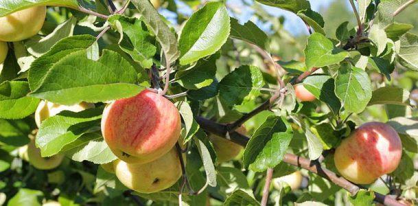 Äpplen på ett äppleträd