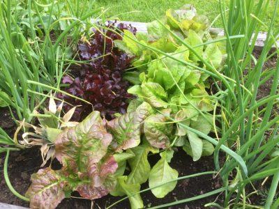 Odling av sallat och gräslök i en pallkrage.